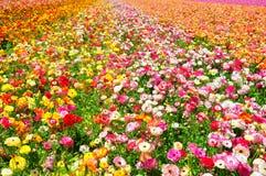 Οι τομείς λουλουδιών Carlsbad στοκ εικόνες