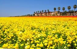 Οι τομείς λουλουδιών Carlsbad στοκ εικόνα με δικαίωμα ελεύθερης χρήσης
