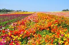 Οι τομείς λουλουδιών Carlsbad στοκ φωτογραφίες