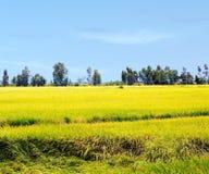 Οι τομείς ρυζιού Στοκ Εικόνα