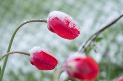 Οι τουλίπες κάτω από το χιόνι στοκ εικόνες με δικαίωμα ελεύθερης χρήσης