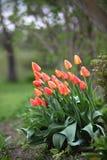 Οι τουλίπες στον κήπο στοκ εικόνες με δικαίωμα ελεύθερης χρήσης