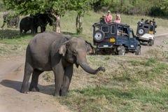 Οι τουρίστες σε ένα τζιπ σαφάρι προσέχουν ένα κοπάδι των άγριων ελεφάντων που βόσκουν στο εθνικό πάρκο Minneriya στοκ φωτογραφίες