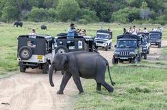 Οι τουρίστες στα τζιπ σαφάρι προσέχουν ένα κοπάδι των άγριων ελεφάντων που βόσκουν στο εθνικό πάρκο Minneriya στοκ εικόνα με δικαίωμα ελεύθερης χρήσης