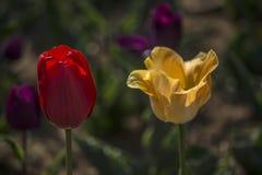 Οι τουλίπες αντιπαραβάλλουν φωτεινό Στοκ εικόνες με δικαίωμα ελεύθερης χρήσης
