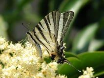 Οι τροφές πεταλούδων με το νέκταρ μια σαφή θερινή ημέρα στοκ εικόνες