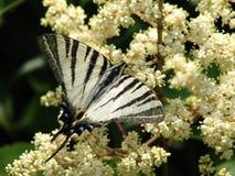 Οι τροφές πεταλούδων με το νέκταρ στοκ εικόνα