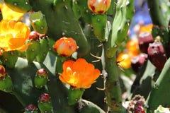Οι τόνοι και ο κάκτος άνθισαν την άνοιξη τα κόκκινα φρούτα και τα κίτρινα λουλούδια Στοκ Φωτογραφία