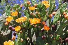 Οι τόνοι και ο κάκτος άνθισαν την άνοιξη τα κόκκινα φρούτα και τα κίτρινα λουλούδια Στοκ Εικόνες