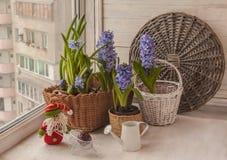 Οι υάκινθοι στο παράθυρο δίπλα στο πότισμα μπορούν και στοιχειό Στοκ φωτογραφίες με δικαίωμα ελεύθερης χρήσης
