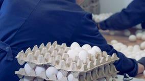 Οι υπάλληλοι εργοστασίων συσκευάζουν τα άσπρα αυγά στους δίσκους χαρτοκιβωτίων σε ένα φάρμα πουλερικών απόθεμα βίντεο