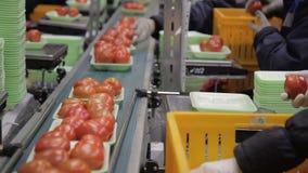 Οι υπάλληλοι συσκευάζουν τις ντομάτες και βάζουν στη ζώνη μεταφορέων στη συσκευασία του καταστήματος απόθεμα βίντεο