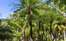 Οι φοίνικες που βλέπουν στον κήπο της βαλάτας, νησί της Μαρτινίκα, γαλλικές Δυτικές Ινδίες Στοκ Φωτογραφία