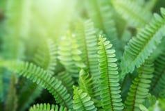 Οι φτέρες Beautyful αφήνουν στο πράσινο φύλλωμα το φυσικό floral υπόβαθρο φτερών στον ήλιο στοκ εικόνες