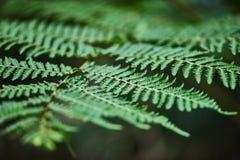 Οι φτέρες Beautyful αφήνουν στο πράσινο φύλλωμα το φυσικό floral backgro φτερών στοκ φωτογραφίες με δικαίωμα ελεύθερης χρήσης