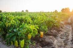 Οι φυτείες του πιπεριού αυξάνονται στον τομέα φυτικές σειρές Καλλιέργεια, γεωργία Τοπίο με τη αγροτική γη συγκομιδές στοκ εικόνα