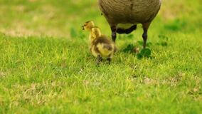 Οι χήνες μωρών ραμφίζουν τα νέα ζωικά πουλιά υδρόβιων πουλιών παλεύοντας το παιχνίδι απόθεμα βίντεο