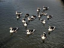 οι χήνες ομαδοποιούν τι&sigm Στοκ φωτογραφίες με δικαίωμα ελεύθερης χρήσης