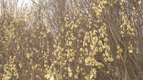 Οι χαλαροί οφθαλμοί μιας ιτιάς φυτεύουν σε έναν θάμνο, φύση, άνοιξη, κινηματογράφηση σε πρώτο πλάνο απόθεμα βίντεο