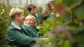 Οι χαμογελώντας κηπουροί φροντίζουν για τα λουλούδια στη φυτεία με τριανταφυλλιές απόθεμα βίντεο