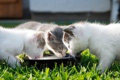 Οι χαριτωμένες γάτες πίνουν το γάλα Στοκ Εικόνες