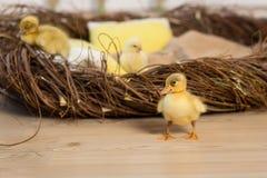 Οι χαριτωμένοι χνουδωτοί νεοσσοί και τα κοτόπουλα λίγου Πάσχας περπατούν κοντά στη φωλιά στοκ φωτογραφία με δικαίωμα ελεύθερης χρήσης