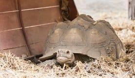 Οι χελώνες σέρνονται αργά στην ξηρά χλόη στο ζωολογικό κήπο στοκ φωτογραφίες