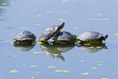 Οι χελώνες στηρίζονται σε έναν κορμό δέντρων σε μια λίμνη στοκ φωτογραφίες