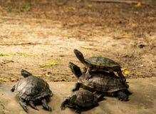 Οι χελώνες ζουν στο ζωολογικό κήπο της Ταϊλάνδης λιμνών Στοκ Εικόνα