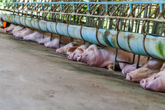 Οι χοίροι μητέρων κοιμούνται στους σταύλους Στοκ φωτογραφίες με δικαίωμα ελεύθερης χρήσης