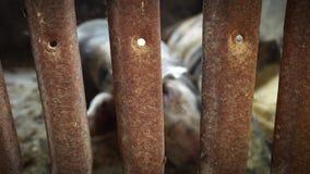 Οι χοίροι σε ένα κλουβί βρίσκονται στο πάτωμα, οι χοίροι κοιμούνται, το υπόλοιπο, ένας από δύο χοίρους σηκώνεται, αγρόκτημα χοίρω απόθεμα βίντεο