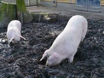 Οι χοίροι σκάβουν το έδαφος με snouts τους Στοκ Εικόνες