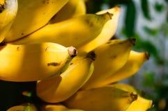 Οι χρήσιμες ιδιότητες μπανανών τρέφουν και διατηρούν ότι η υγιής μπανάνα είναι φρούτα της Ταϊλάνδης Με τον αρχαίο είναι φρόνηση σ Στοκ φωτογραφίες με δικαίωμα ελεύθερης χρήσης