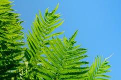 Οι όμορφες ζωηρές πράσινες φτέρες στο καυτό καλοκαίρι καθαρίζουν το μπλε ουρανό Στοκ φωτογραφία με δικαίωμα ελεύθερης χρήσης