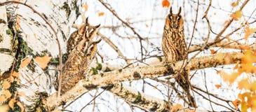 Οι όμορφες κουκουβάγιες κάθονται σε ένα δέντρο με τα ευρέα μάτια στοκ εικόνες