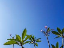 Οι όμορφοι κλάδοι δέντρων λουλουδιών Plumeria ή Frangipani, σκιά του ρόδινου λουλουδιού, φρέσκα πράσινα φύλλα στο θερινό μπλε ουρ Στοκ εικόνα με δικαίωμα ελεύθερης χρήσης
