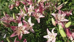 Οι όμορφοι κρίνοι Lilium κήπων αυξάνονται στο βίντεο μήκους σε πόδηα αποθεμάτων κήπων φιλμ μικρού μήκους