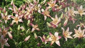 Οι όμορφοι κρίνοι Lilium κήπων χύνονται με το νερό στο βίντεο μήκους σε πόδηα αποθεμάτων κήπων απόθεμα βίντεο