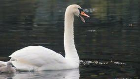 Οι όμορφοι κύκνοι κολυμπούν στη λίμνη απόθεμα βίντεο