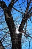 Οι λόρδοι φωτός του ήλιου σπινθηρίσματος μέσω των δρύινων κλάδων έντυσαν με τον πάγο Στοκ Φωτογραφίες