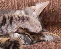 Οι ύπνοι γατών που κλείνουν το ρύγχος του με το πόδι του Στοκ Φωτογραφίες