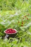 Οι ώριμες άγριες φράουλες που αυξάνονται στη χλόη Στοκ Εικόνες