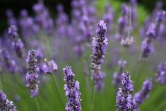 Οι lavender λεπτομέρειες Στοκ φωτογραφία με δικαίωμα ελεύθερης χρήσης
