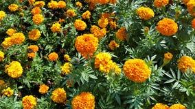 Οι marigold Signet εγκαταστάσεις στοκ εικόνα