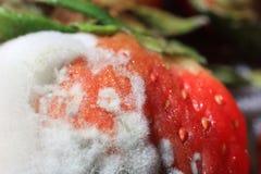 Οι Moldy φράουλες κάλυψαν τον άσπρο μύκητα Στοκ Εικόνα