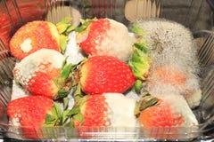 Οι Moldy φράουλες κάλυψαν τον άσπρο μύκητα Στοκ Εικόνες