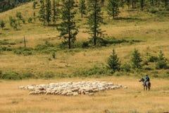 Οι Tuvan ποιμένες στην πλάτη αλόγου βόσκουν ένα κοπάδι των προβάτων στοκ εικόνα