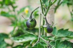 Οι Unripe ντομάτες μαύρων κερασιών αυξάνονται σε έναν κλάδο στον κήπο στοκ φωτογραφίες με δικαίωμα ελεύθερης χρήσης
