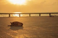 Οκνηρά σκυλιά που χαλαρώνουν και που κοιμούνται κοντά στην παραλία το πρωί Στοκ εικόνα με δικαίωμα ελεύθερης χρήσης