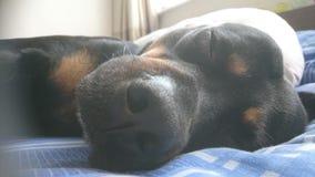 Οκνηρές ημέρες, it& x27 s μια ζωή σκυλιών στοκ φωτογραφία